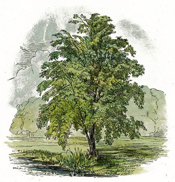 Birch_Tree_Drawing